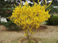 Weeping Forsythia Extract
