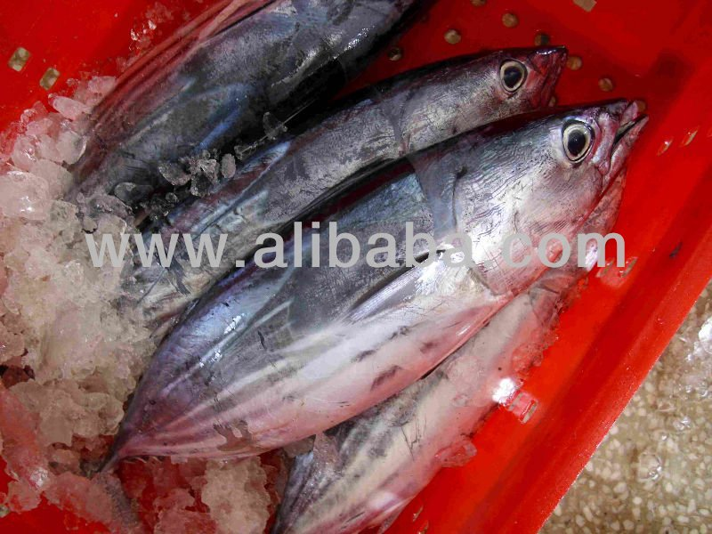Good Quality Frozen Whole SkipJack Tuna Ready For Supply