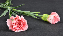 Quality home decor living room carnation fresh cut flower price
