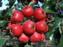 High quality whitethorn Plant Hawthorn berry extract / Crataegus Pinnatifida extract powder / 7:1