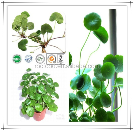 Export High Gotu Kola Extract Triterpenes 98%