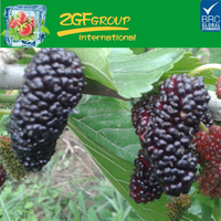 IQF frozen delicious frozen fresh mulberries have a hot sale in bulk