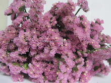 Exquisite hot-sale pink myosotis sylvatica