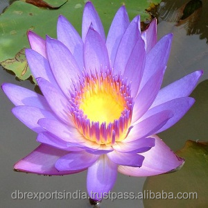 Blue Lotus Oil (Nymphaea Caerulea) from India