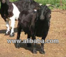 Damascus Goat in India