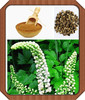 black cohosh plant extract,powdered black cohosh extract