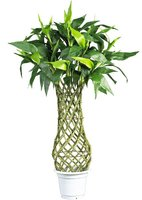 Hotsale Chinese bamboo plants braided lucky bamboo decoration
