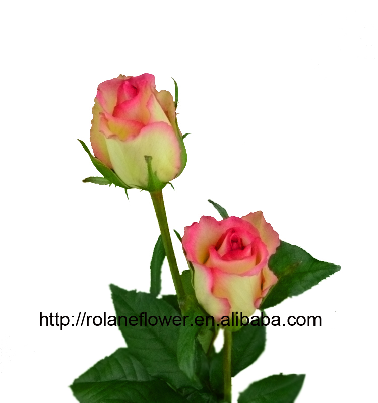 2016 Kunming fresh cut flowers fresh cut roses wholesale price