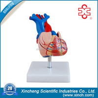 Real-Size Medical Heart Model