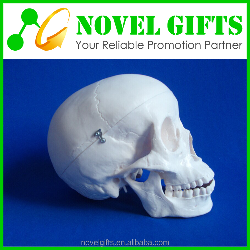 Medical Anatomical Skull Model
