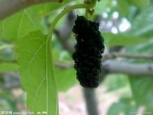 high quality Mulberry P.E/ natural Mulberry extract /pure Mulberry powder