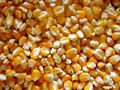 Yellow corn (Maize).