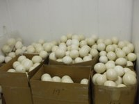 Fertile Ostrich Eggs For Sale