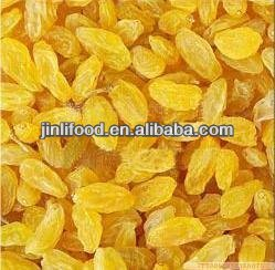 iran products golden dates xinjiang gold raisin
