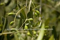 Olive Oil high quality and competitive price