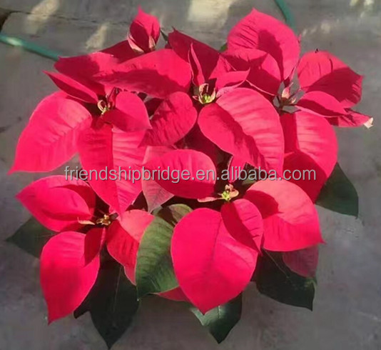 Natural poinsettia christmas flowers live plant in pot