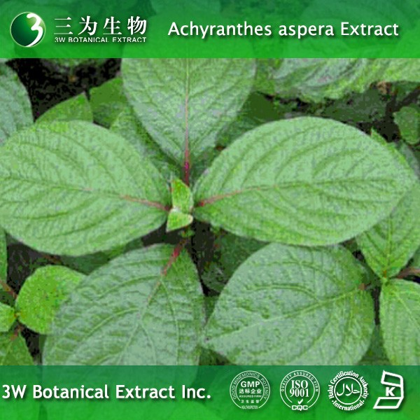 High Quality Achyranthes aspera Powder Made in China