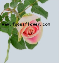 Fragrant aroma crazy selling high quality fresh cut rose flowers high quality fresh cut pink color rose flowers malia rose aliba