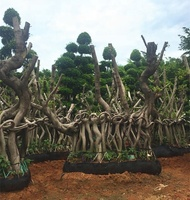 Large Decades Old Chinese Malayan Taiwan Banyan Curtain Fig Ficus Microcarpa Plants