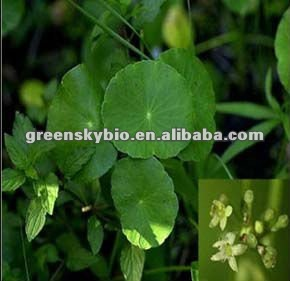 Centella Selected Triterpenes 75% 95% HPLC Gotu Kola Extract