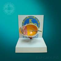 amplified anatomical Eye Model or plastic Human Eye Model