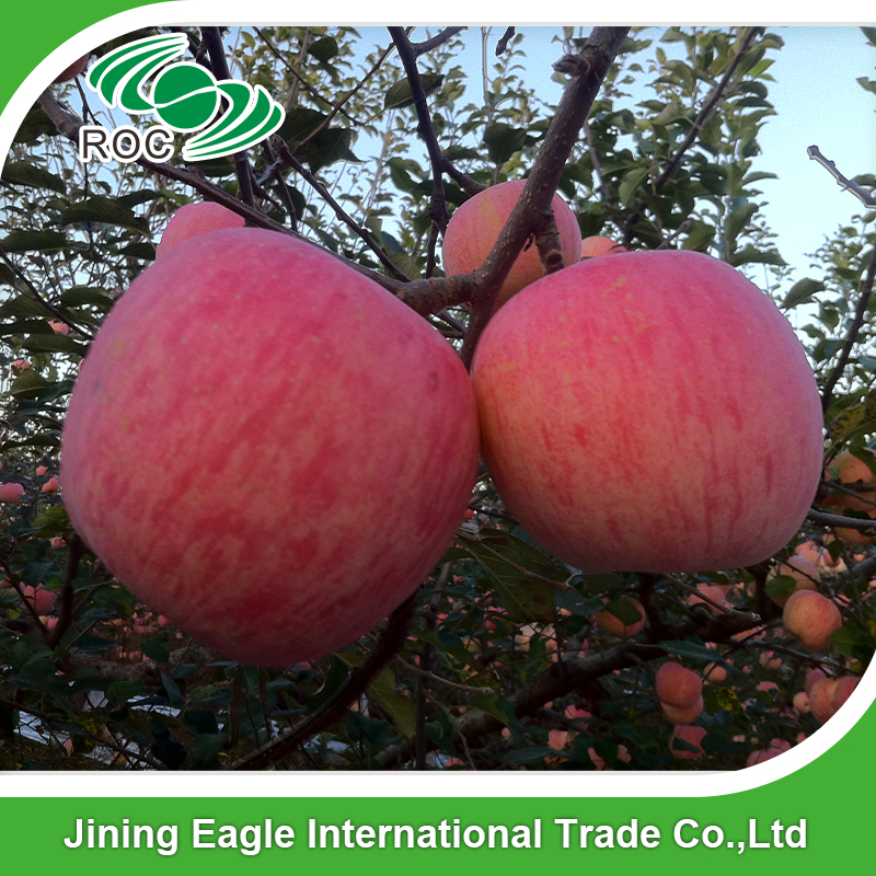 Chinese Fresh Red Fuji Apple Of Apple Fruit best Price