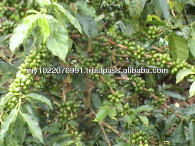 Best Green Arabica Coffee beans