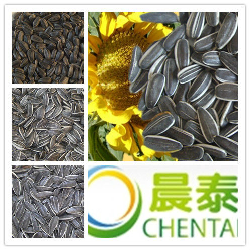 High quality humam consumption Sunflower Seed from inner mongolia