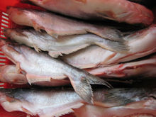 FROZEN WHOLE ROUND PANGASIUS