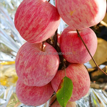 Crips &sweet himachal apples FuJi apple fruit import from china