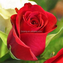 Wholesale different colors fresh cut rose flower