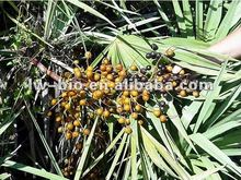 Saw Palmetto Fruit Extract, Serenoa Repens extract
