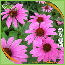 100% Natural Echinacea Purpurea Extract In Bulk, High Quality Herb Medicine,