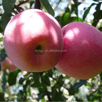Fresh Fuji apple with best price sweet fuji apple