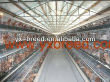 commercial chicken house with metal water trough