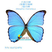 FOUSEN Nature& Art Morpho menelaus real dried butterfly and moth 100 pure natural