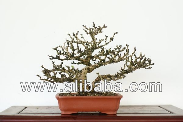 Taiwan Bonsai - Fukien Tea Tree (no.1403_35)