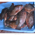 frozen tilapia fish seed wholesale 90%NW
