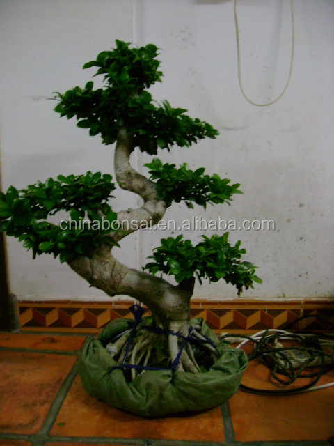 Ficus microcarpa S-shape bonsai