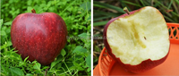 Professional delicious high quality Huaniu apples wholesale