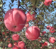 Chinese fresh apple Fuji apple on sale wholesale prices apple fruit