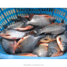 Frozen silver pomfret fish whole round