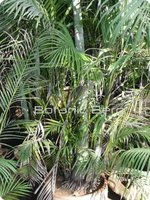 Areca palm plants-trees-seeds from Pakistan