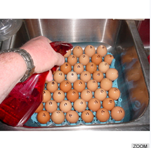 broiler eggs for hatching