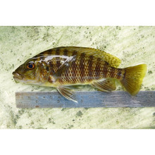 Wholesale Zebra Cichlid Ornamental Aquarium Fish