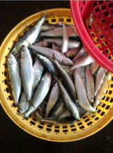 fish seafood in pakistan fish of mackerel