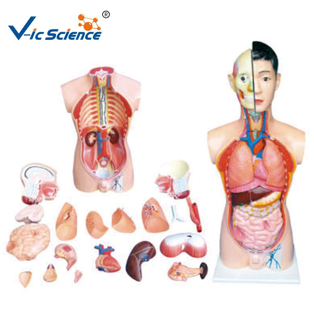 Venta caliente modelos anatómicos humanos torso Cuerpo Humano ...