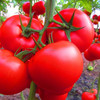 Hybrid F1 organic vegetable tomato seeds prices