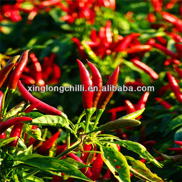 New Crop Export Chaotian Chili Best Red Dry Chili