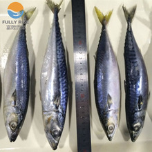 Cheap Frozen Seafood Fish Pacific Mackerel exporter